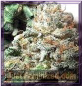 British Columbia AKBC Feminised Cannabis Seeds